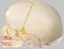 Full Term Fetal Skull - Somso QS 3