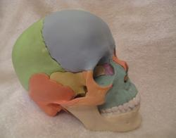 Magnetic Didactic Colored Skull in 22 Parts by Erler-Zimmer