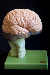 Brain Model in 15 Parts  - Somso model BS 25