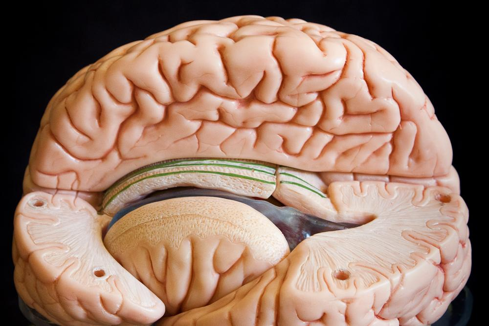Brain Model in 15 Parts - Somso Model BS 25 | Pacific Distributing ...